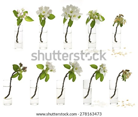 flower withers time apple blossom in a glass - stock photo