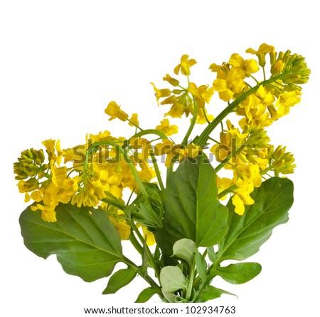 Flower Yellow Rocket or Barbarea vulgaris plant (Cruciferae , Brassicaceae ) close up, isolated on white - stock photo