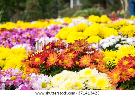 Flower zinnia bloom red orange yellow at festival - stock photo