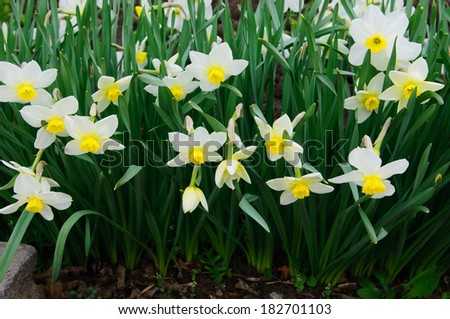 Flowerbed with blooming Narcissus  - stock photo
