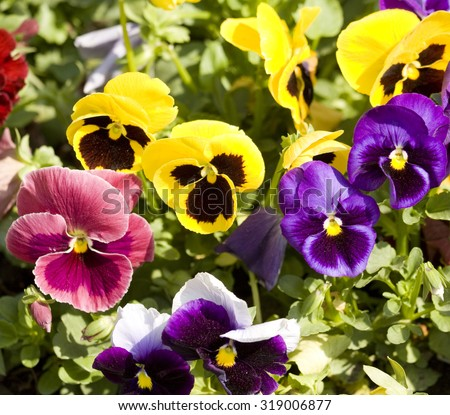Flowerbed with many pansies (Viola tricolor) of different colour: yellow, violet, pink. - stock photo