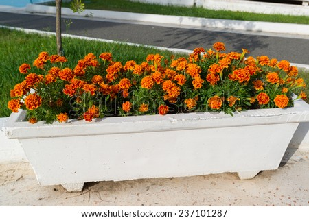 Flowerbed with orange marigold flowers in the garden - stock photo