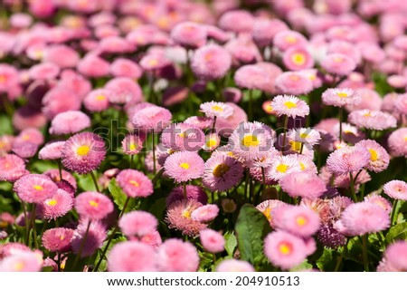 """Flowerbed with pink marguerites (bellis), family Asteraceae. 'Monstrosa' shape, """"Dresden China"""" color. - stock photo"""