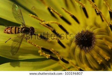 Flowerfly on Yellow Goatsbeard - stock photo