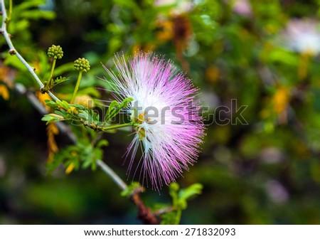 Flowering acacia.  Albizia julibrissin - stock photo