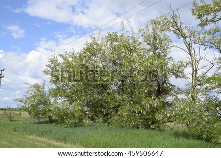 Flowering acacia white grapes. White flowers of prickly acacia, pollinated by bees. - stock photo