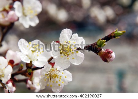 Flowering apple tree. White small flowers on the branches of a tree. Apple trees in bloom.  - stock photo