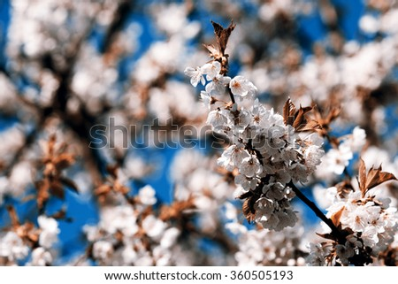 Flowering appletree - spring, Czech Republic - stock photo
