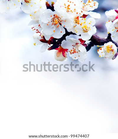 Flowering apricot tree.  Spring blossoms. - stock photo