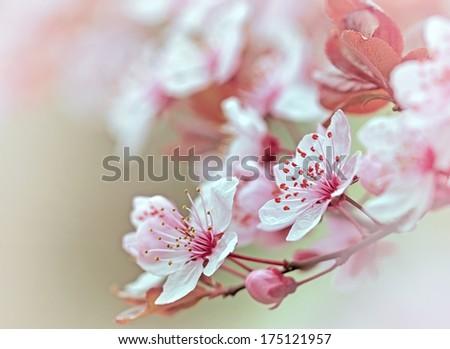 Flowering - blooming fruit tree - stock photo
