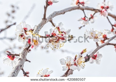 Flowering branch of an apricot tree in the orchard. Photo toned. Selective focus - stock photo