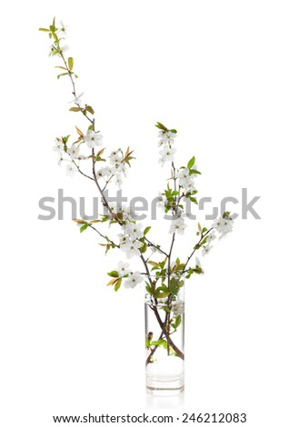 Flowering branches of cherry in a glass vase  isolated on white.  - stock photo