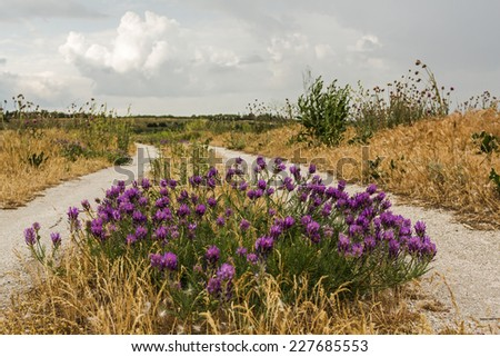 Flowering bush thistle on a country road  - stock photo