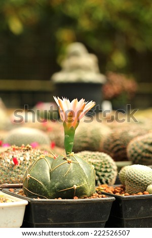 Flowering cactus. - stock photo