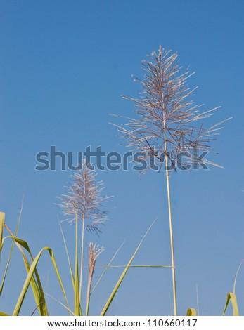 Flowering cane - stock photo