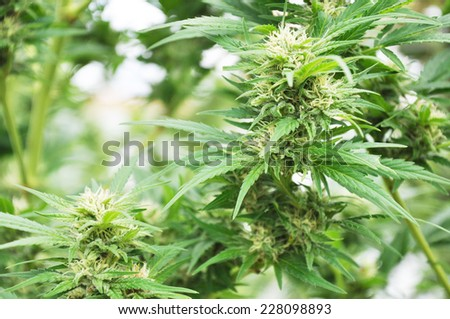 Flowering cannabis plant - stock photo