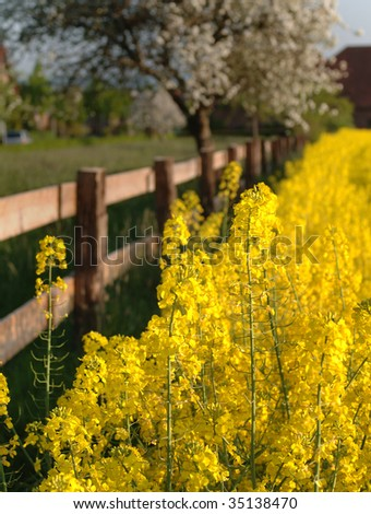 Flowering canola with a wicker fence, and a blooming apple tree in the background - stock photo