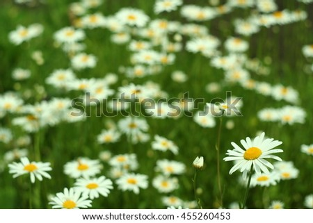 Flowering. Chamomile. Blooming chamomile field. Chamomile flowers on a meadow in summer,Blurred background - stock photo