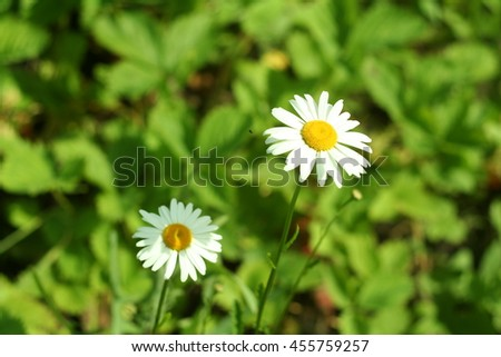 Flowering. Chamomile. Chamomile flowers on a meadow in summer,Blurred background - stock photo