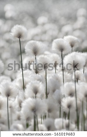 Flowering Cotton Grass - stock photo