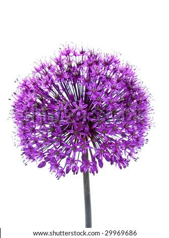 flowering decorative garlic isolated on white - stock photo