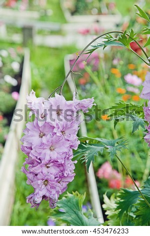 Flowering delphinium,  shallow DOF - stock photo