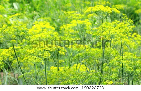 flowering dill background - stock photo