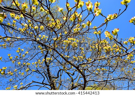 Flowering Dogwood, bright yellow petals on bare branches against deep blue sky - stock photo