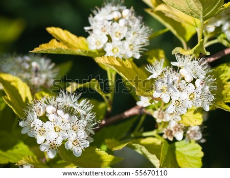 Flowering Dogwood tree -- Cornus alba.  Small depth to sharpness - stock photo