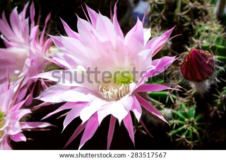Flowering Echinopsis cactus and one closed bud. This species blooms from late spring to all summer long, the flowers open before sunrise but last only one day in full beauty.  - stock photo