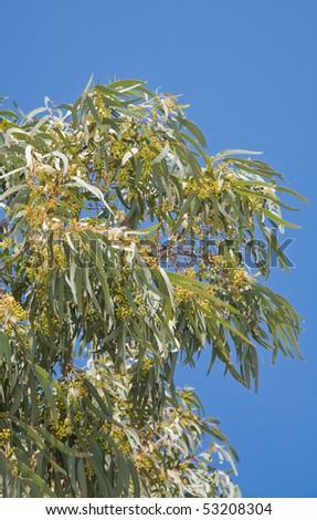 flowering Eucalyptus branches against blue sky - stock photo