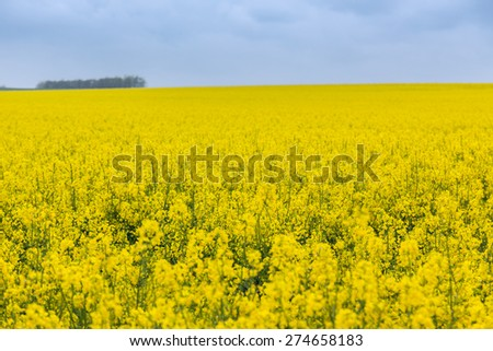 Flowering field of canola outdoors in spring in Hungary - stock photo