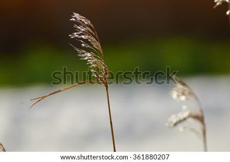 Flowering grass bending in the wind against the sky. - stock photo