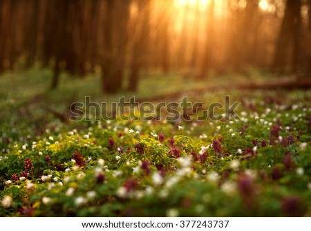 Flowering green forest on sunset , spring nature background - stock photo