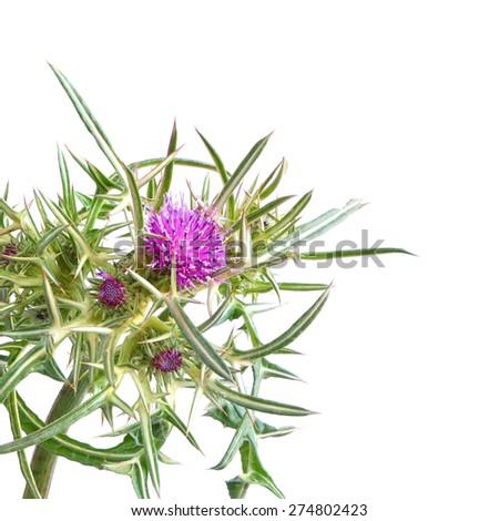 Flowering herb of Syrian Thistle ( Cirsium syriacum, Notobasis syriaca) isolated on white background - stock photo