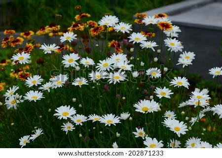 Flowering Leucanthemum × superbum 'Becky' (Shasta Daisy) - stock photo