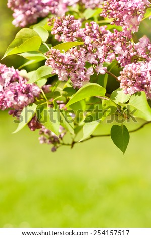 Flowering Lilac vibrant pink shrub and green foliage bright colors in sunlight, syringa vulgaris in early spring season, beautiful flowers in sunny day, calm nature detail, vertical orientation - stock photo
