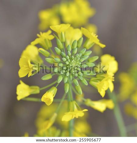 Flowering mustard beautiful healthy plants in the field. - stock photo