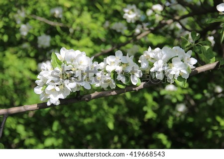 Flowering of apple trees. Closeup white flowers of the apple tree.  Beautiful apple tree blooming, gentle little white flowers on twig over blur green background, beauty of spring season. - stock photo