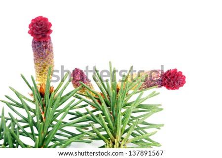 Flowering of pine. - stock photo