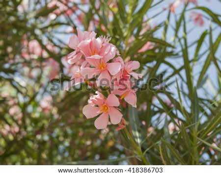 Flowering oleander.Shooting in France (Cannes) in the summer of 2013. - stock photo