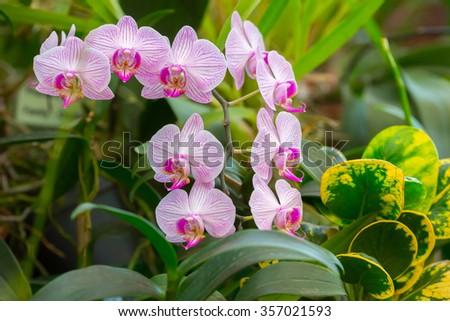 Flowering orchids in Botanical Garden in Peradeniya, Kandy, Sri-Lanka - stock photo