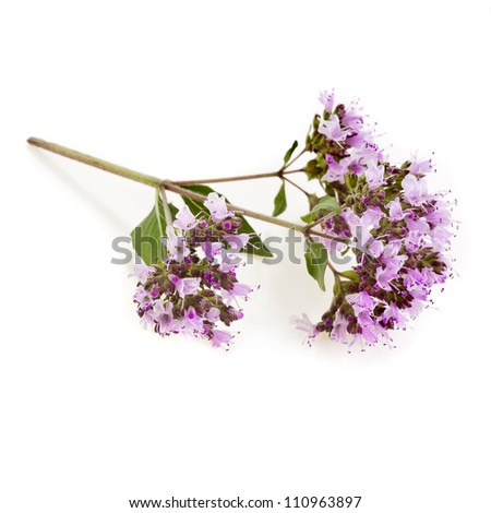 Flowering Oregano or Marjoram Herb (origanum majorana ) isolated on white - stock photo