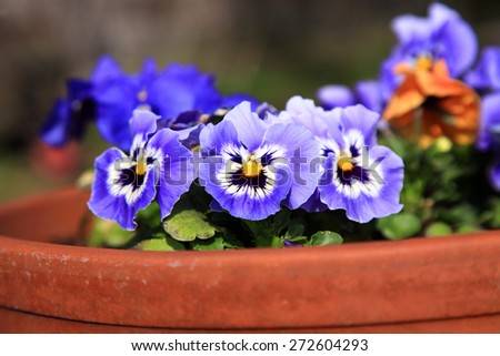 Flowering pansies in the spring rustic garden  - stock photo