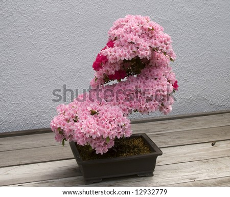 Flowering Pink Bonsai - stock photo