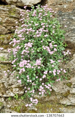 flowering plant of soapwort rock grew out of a wall of stones - stock photo