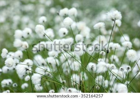 Flowering plants of cotton grass in  swamp - stock photo