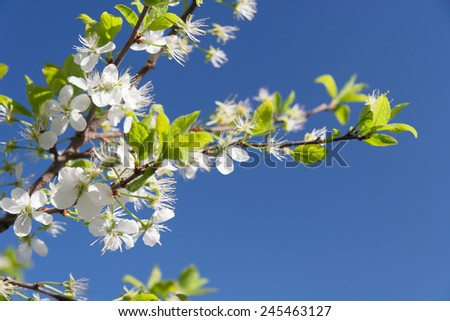 Flowering Plum Tree against blue sky in Spring - stock photo