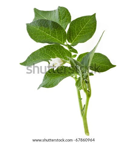 flowering  potato  isolated on white - stock photo