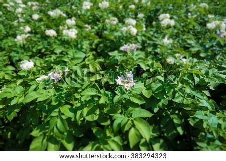 Flowering potato planting - stock photo